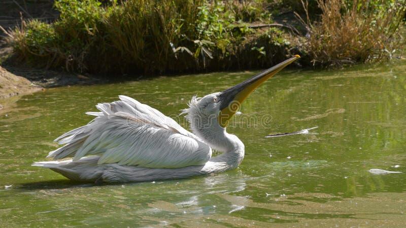 Pelikanschwimmen im grünen Wasser des Teichs lizenzfreie stockbilder