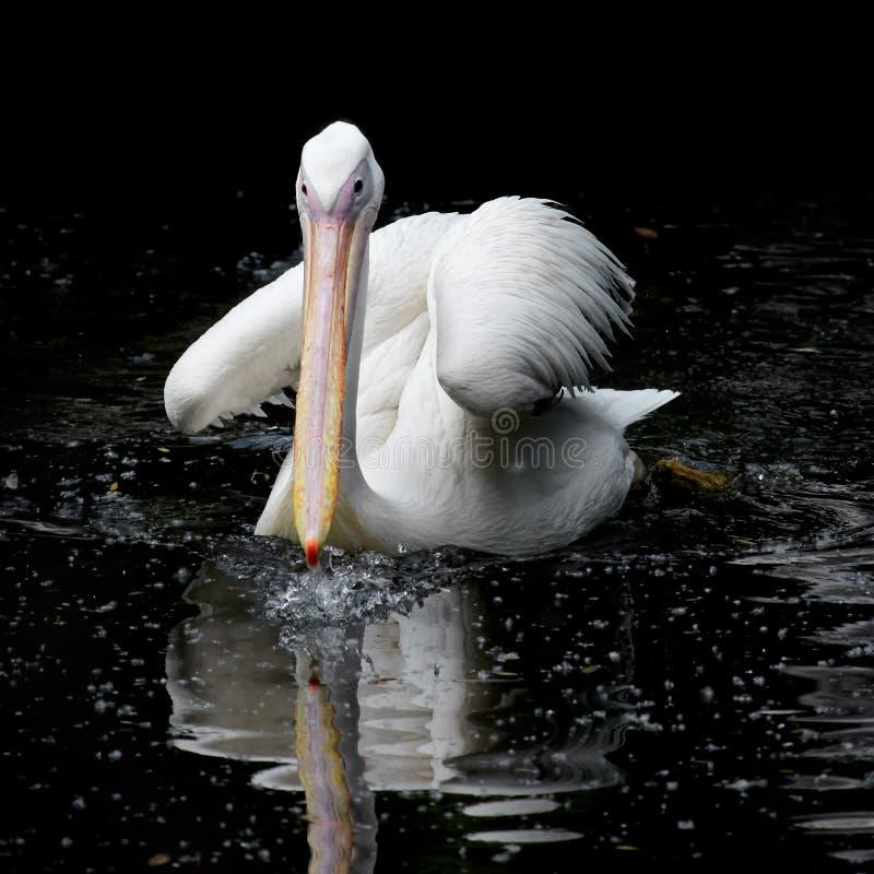 Pelikanschwimmen im Wasser stockfotografie