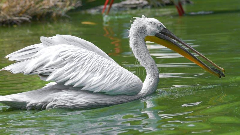 Pelikanschwimmen mit offenen Flügeln im Wasser lizenzfreie stockfotografie