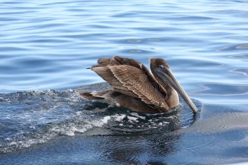 Pelikanschwimmen und -spur lizenzfreie stockbilder