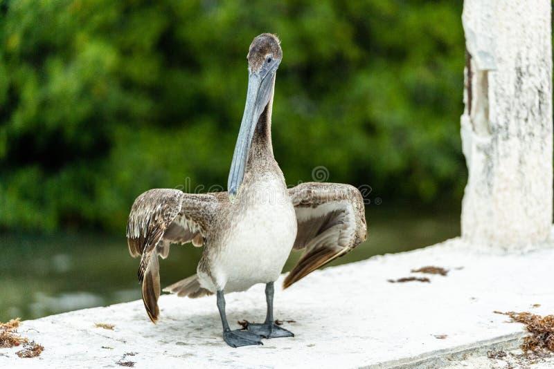 Pelikanstellung auf der Seite einer Brücke lizenzfreies stockfoto