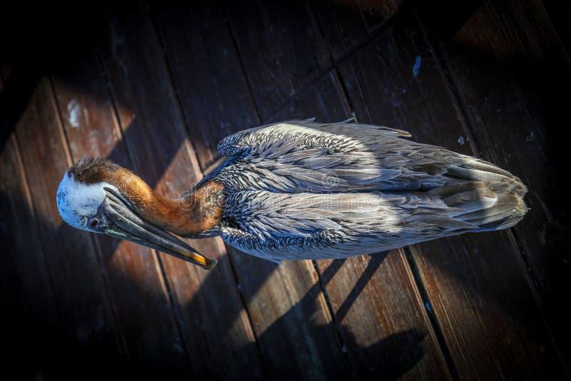Pelikanvogel stockfotos