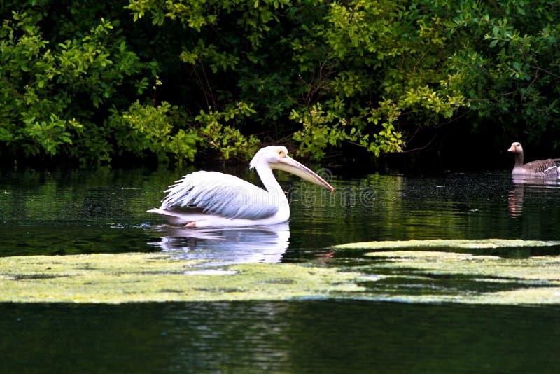 Pelikanvogel lizenzfreie stockbilder