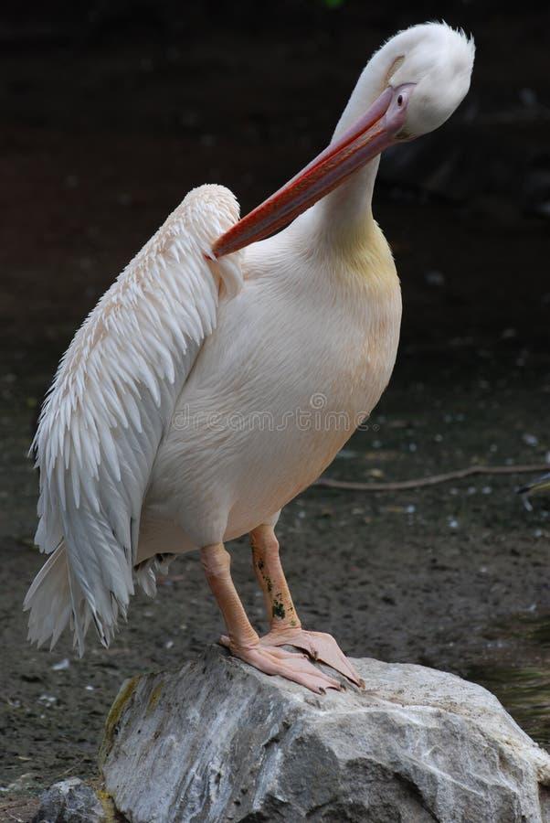 Pelikanvogel auf Felsen stockbild