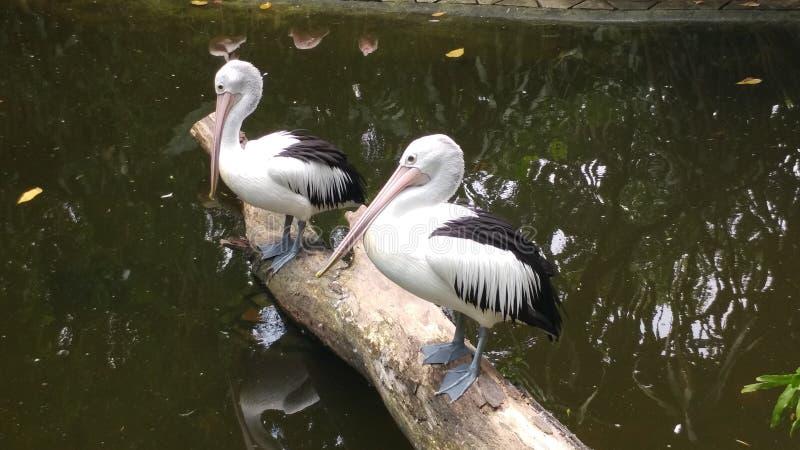 Pelikanvogel im Teich sich entspannen lizenzfreie stockbilder