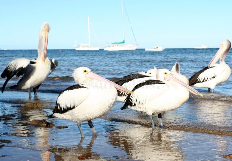 pelikany obraz royalty free