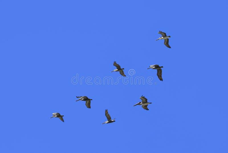 Download Pelikany obraz stock. Obraz złożonej z nikt, mniejszości - 53787613