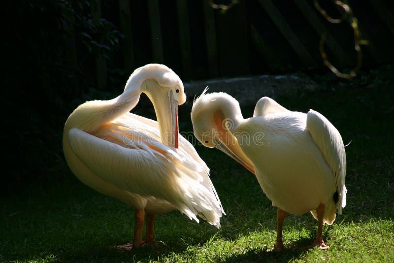 pelikany zdjęcia stock