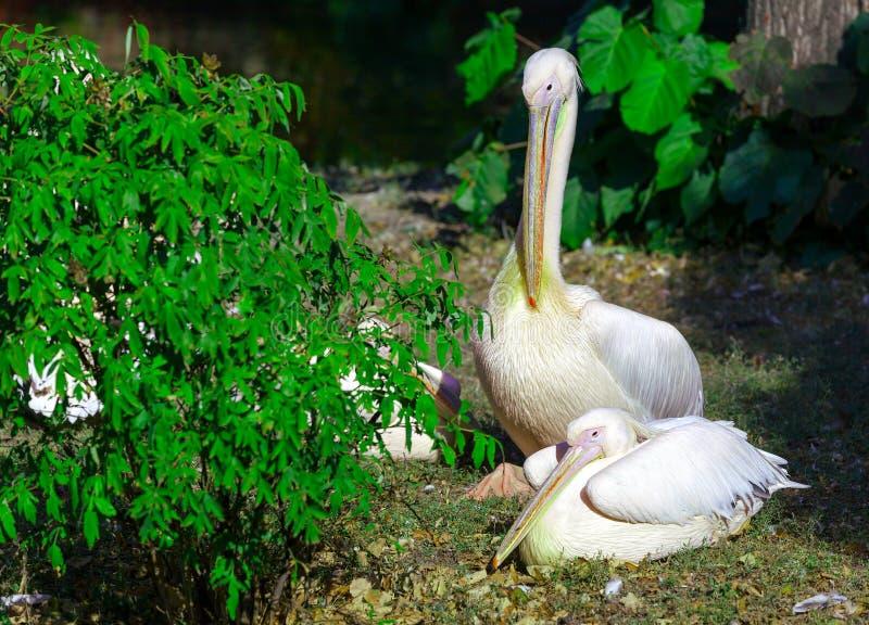 Pelikany cieszy się lata słońce zdjęcie royalty free