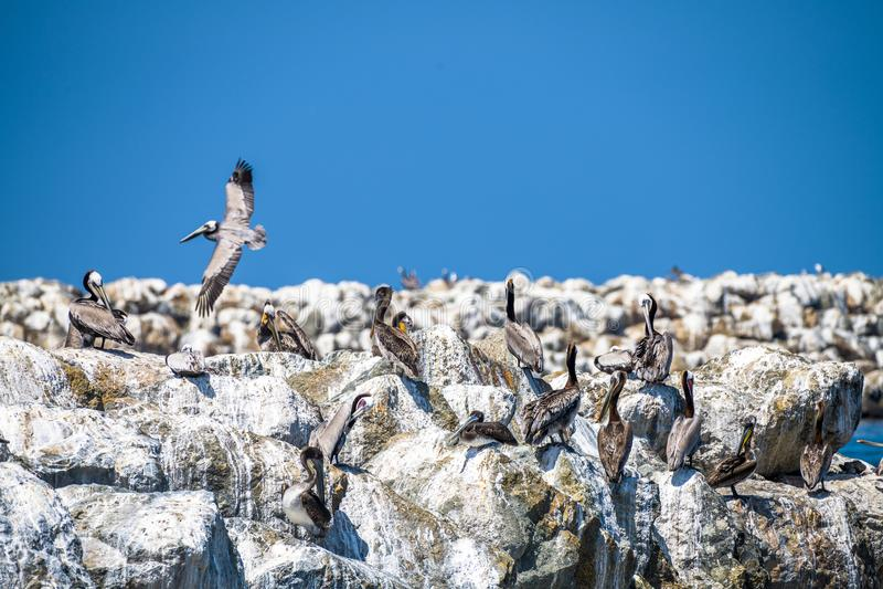 Pelikany na falochronie obraz stock