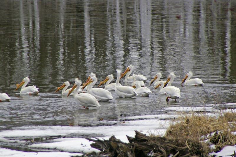 Pelikany na jeziorze zdjęcie royalty free