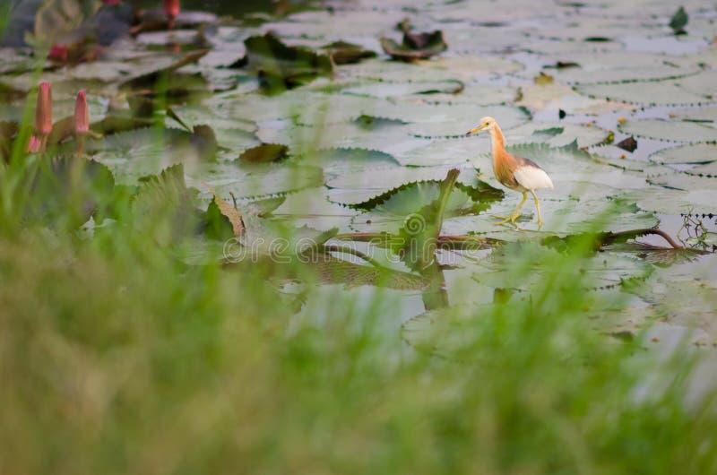 Pelikany na lotosowym liściu zdjęcia stock