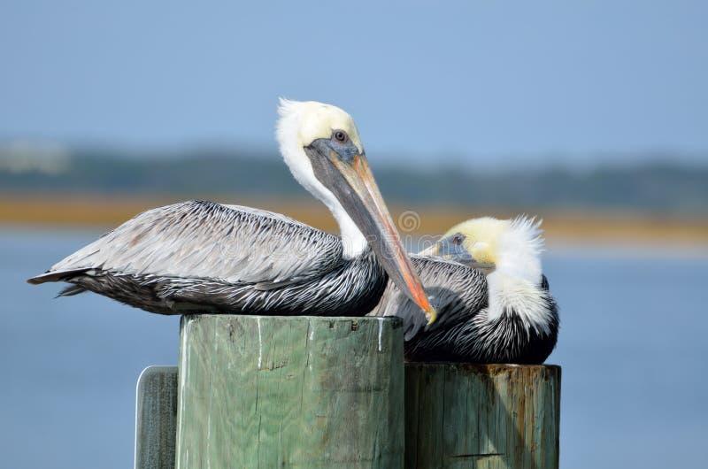 Pelikany na palowaniach zdjęcia stock
