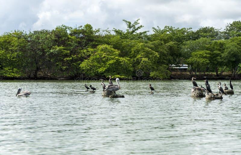 Pelikany na skałach zdjęcie royalty free