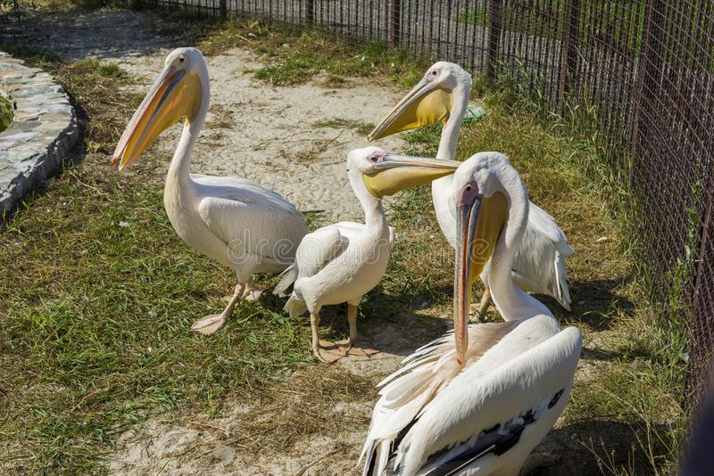 Pelikany na ulicie w zoo fotografia royalty free