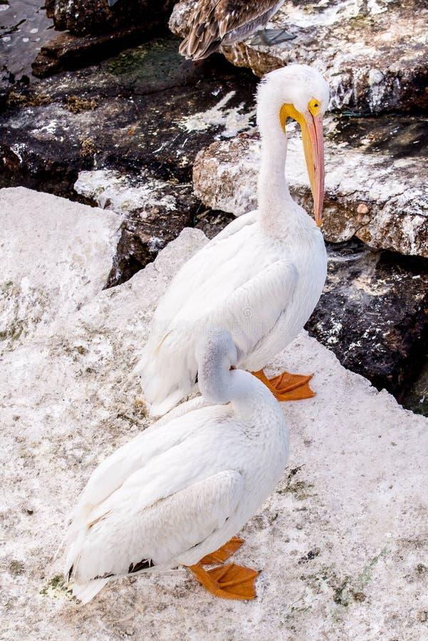Pelikany przy Galveston wyspą, TX zdjęcia stock