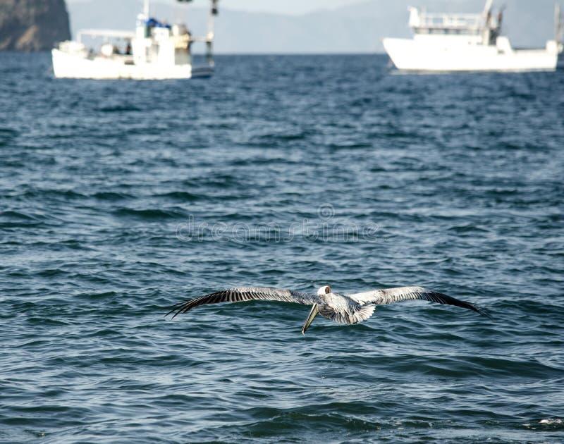 Pelikany przy Ocotal plażą w Guanacaste, Costa Rica - obrazy stock