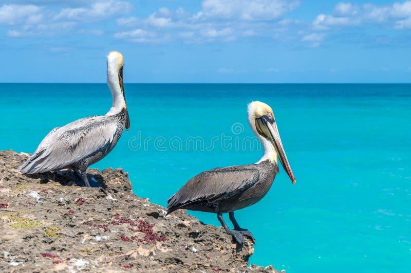Pelikany siedzi na dennej falezie zdjęcie royalty free