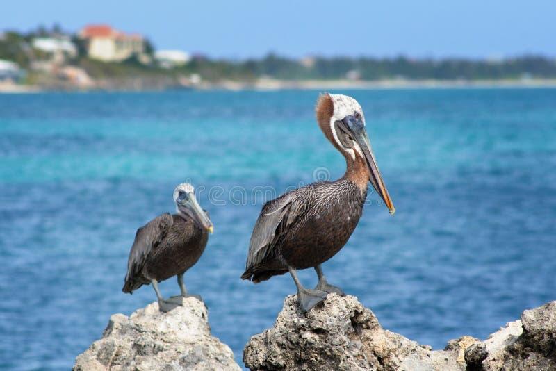 Pelikany, turczynki i Caicos wyspy, fotografia stock