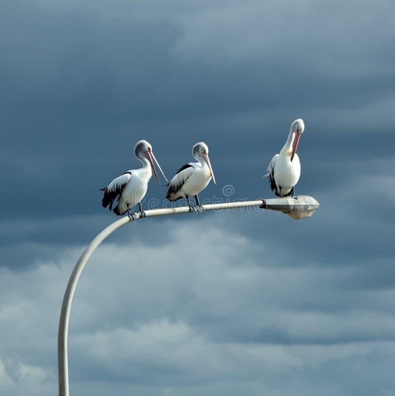 pelikany umieszczali trzy fotografia royalty free