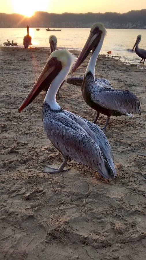 Pelikany w Acapulco zdjęcie stock