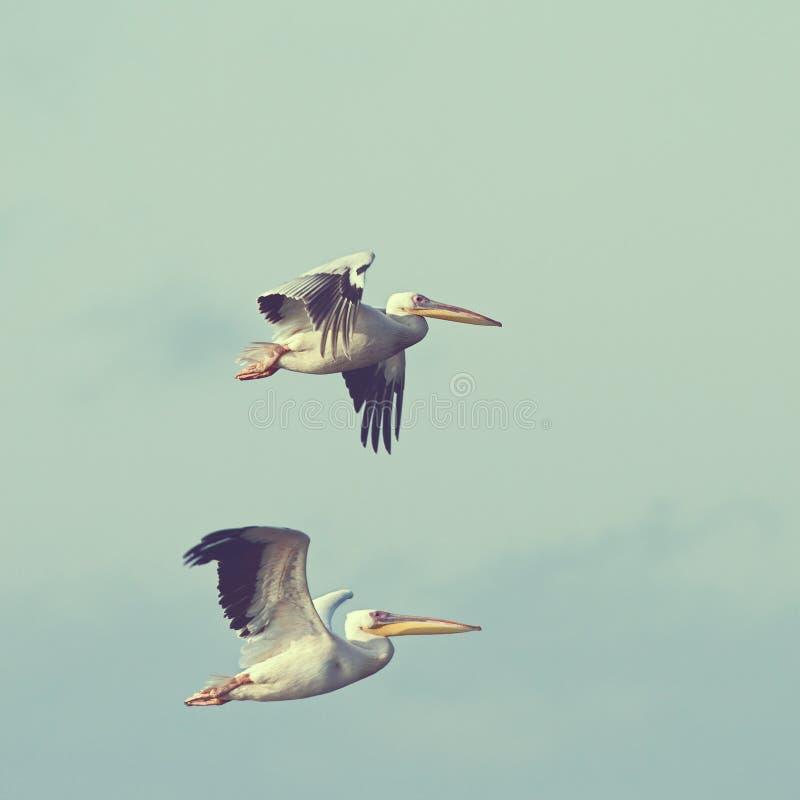 Pelikany w locie z rocznika skutkiem obraz stock