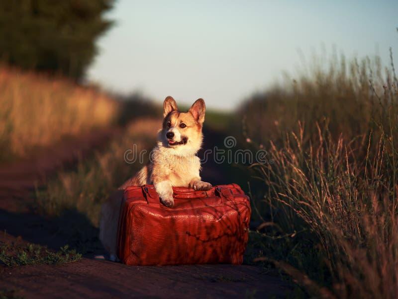 Pelirrojo lindo que un perrito del perro del corgi se está colocando con sus patas en una maleta vieja en un camino polvoriento e foto de archivo