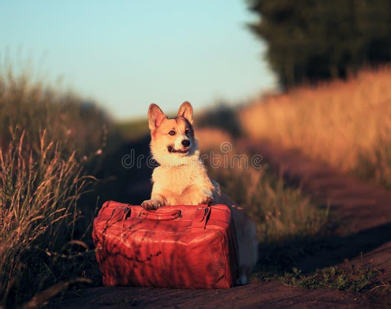 Pelirrojo lindo que un perrito del perro del corgi se está colocando con sus patas en una maleta vieja en un camino polvoriento e fotos de archivo libres de regalías
