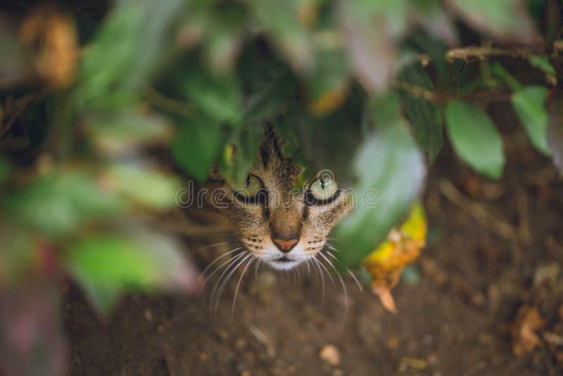 Pellame selvaggio e sembrare del gatto pronti per l'attacco immagini stock libere da diritti