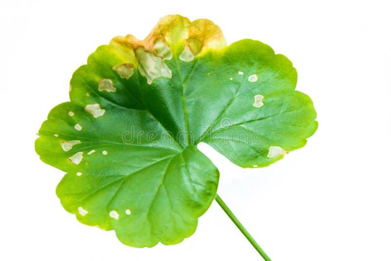 Pellargonium唯一绿色叶子,在白色背景隔绝的大竺葵 免版税库存照片