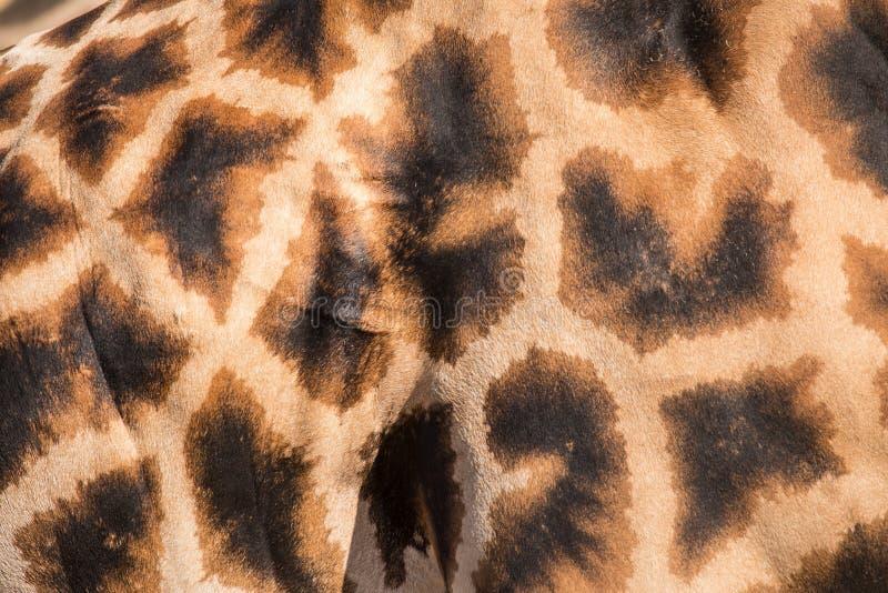 Pelle del cuoio genuino della giraffa con i fungino di malattia leggera e scura fotografia stock libera da diritti
