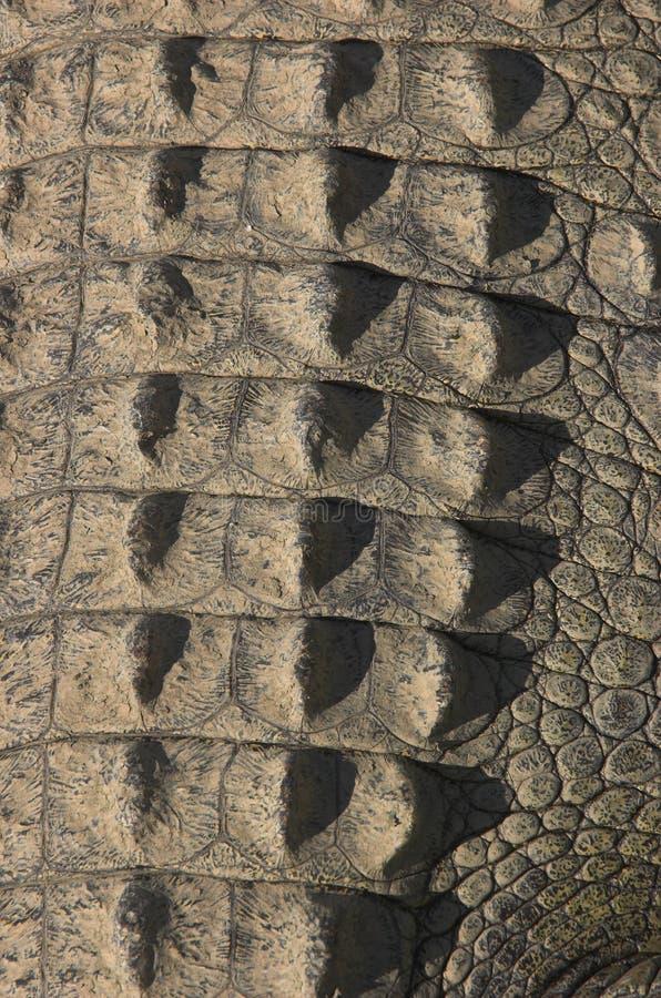 Pelle della coda del coccodrillo fotografia stock libera da diritti
