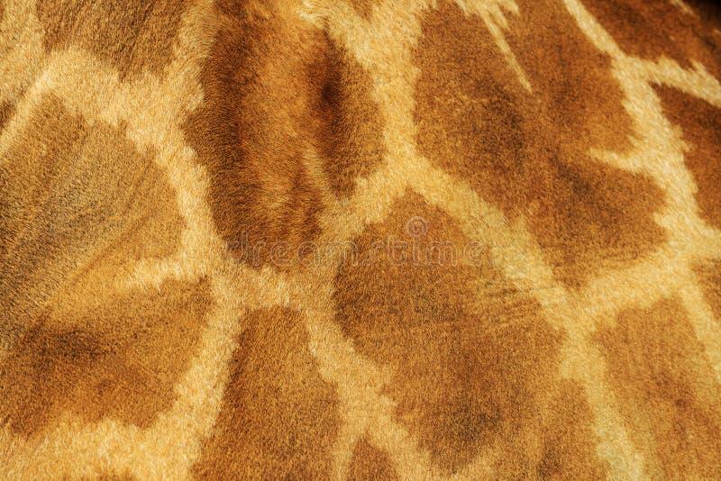 Pelle della giraffa con i punti fotografia stock libera da diritti