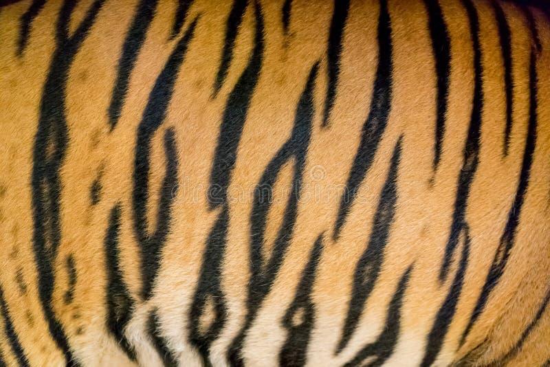 Pelle della tigre di Bengala fotografie stock libere da diritti