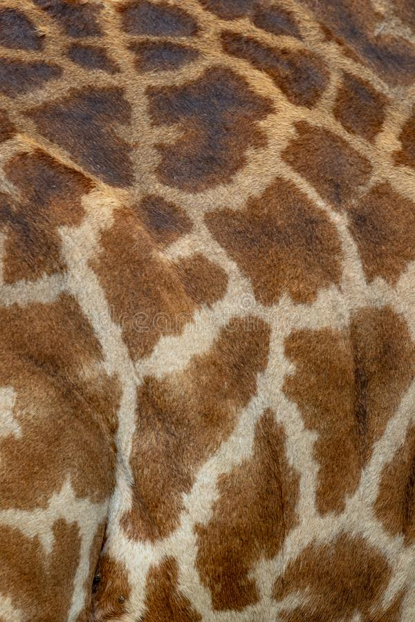 Pelle di Mara Giraffe dei masai, sul safari, nel Kenya, l'Africa immagine stock libera da diritti
