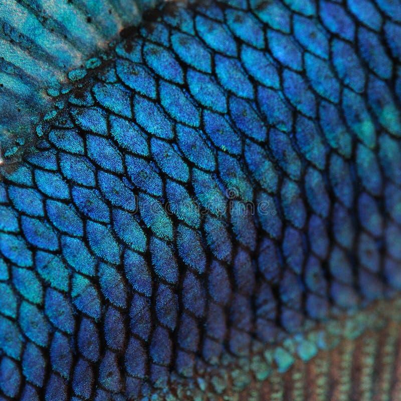 Pelle di un pesce siamese blu di combattimento fotografie stock