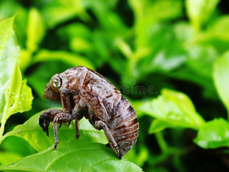 Pelle Molted della cicala immagine stock