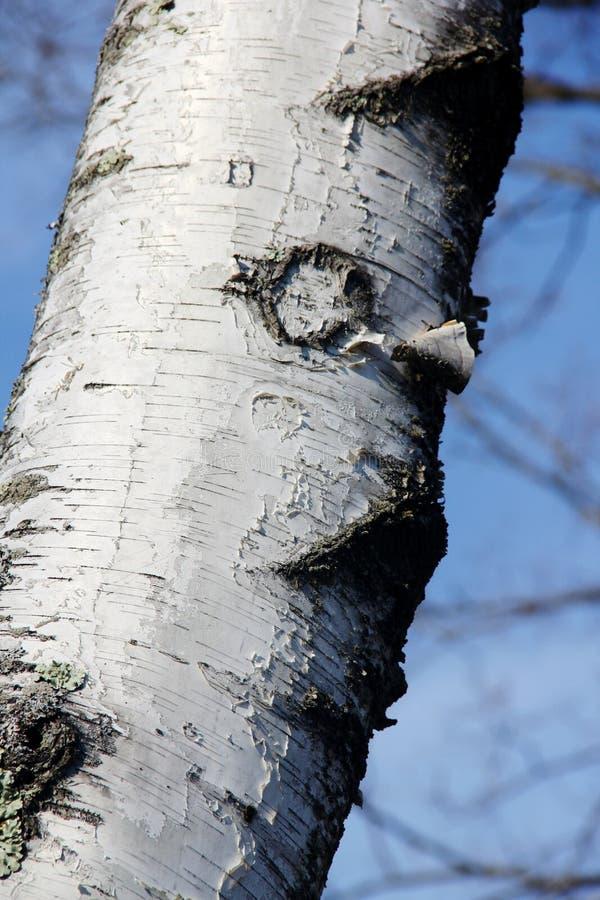 Pellende schors van een berkboom in de winter royalty-vrije stock fotografie
