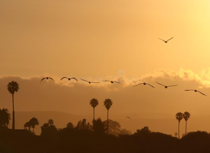 Download Pellicani al tramonto fotografia stock. Immagine di piume - 3144212