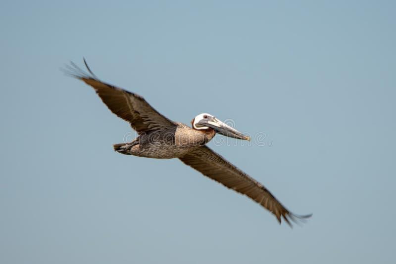 Pellicani astratti in volo alla spiaggia dell'Oceano Atlantico fotografia stock libera da diritti