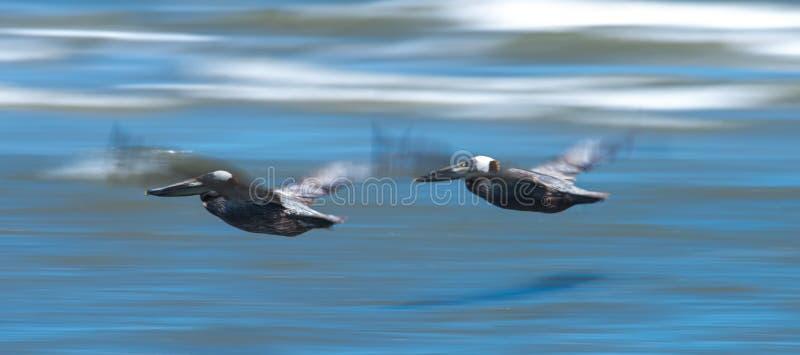 Pellicani astratti in volo alla spiaggia dell'Oceano Atlantico immagine stock