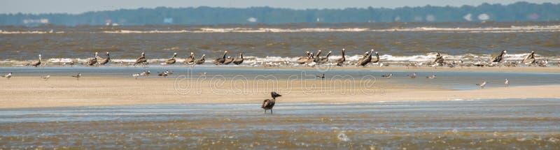 Pellicani astratti in volo alla spiaggia dell'Oceano Atlantico fotografie stock