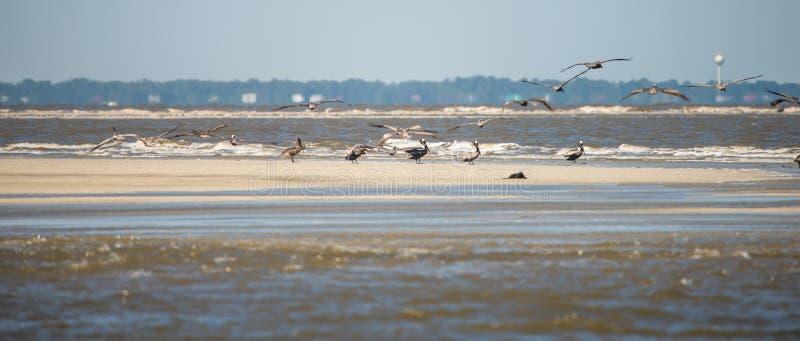 Pellicani astratti in volo alla spiaggia dell'Oceano Atlantico fotografie stock libere da diritti