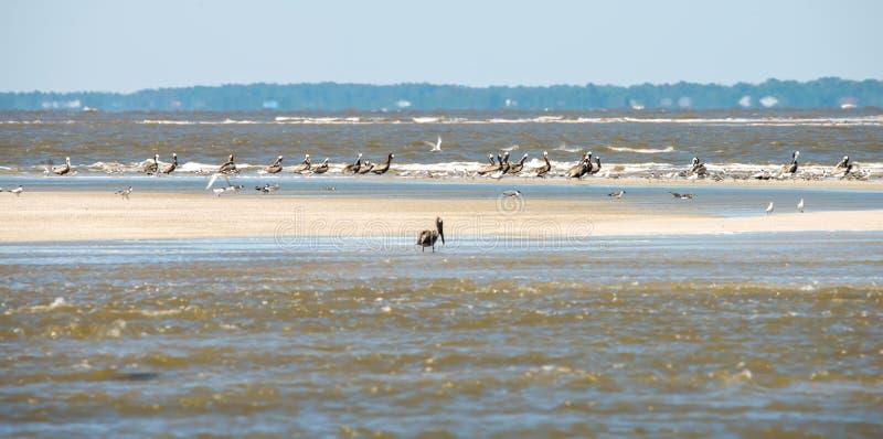 Pellicani astratti in volo alla spiaggia dell'Oceano Atlantico fotografia stock