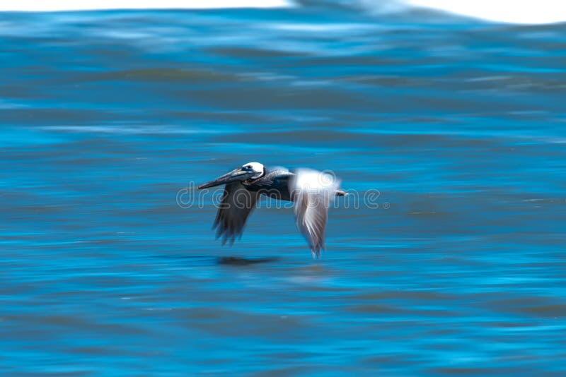 Pellicani astratti in volo alla spiaggia dell'Oceano Atlantico immagine stock libera da diritti