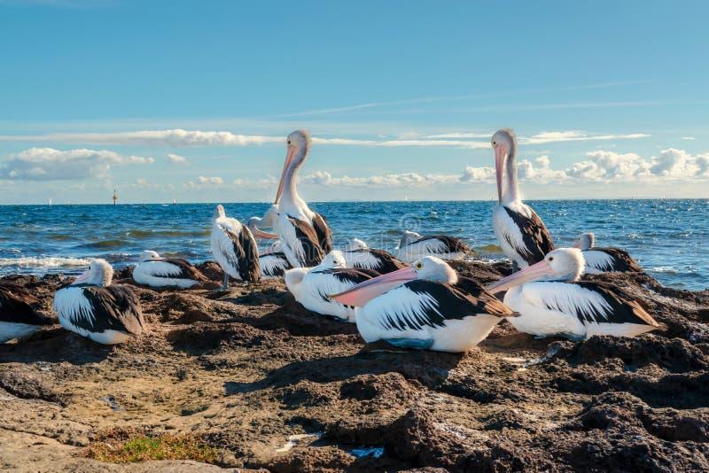 Pellicani australiani in Beaumaris, Victoria, Australia fotografia stock