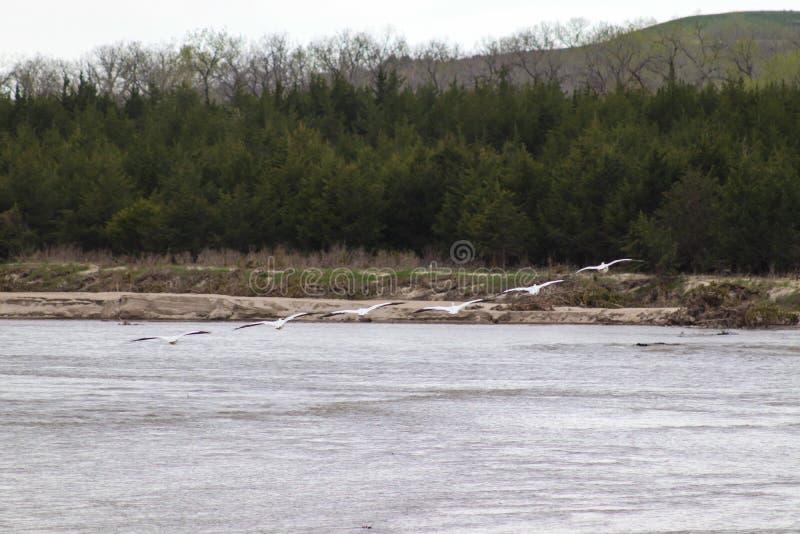 Pellicani bianchi americani in volo sopra il Niobrara Nebraska immagine stock