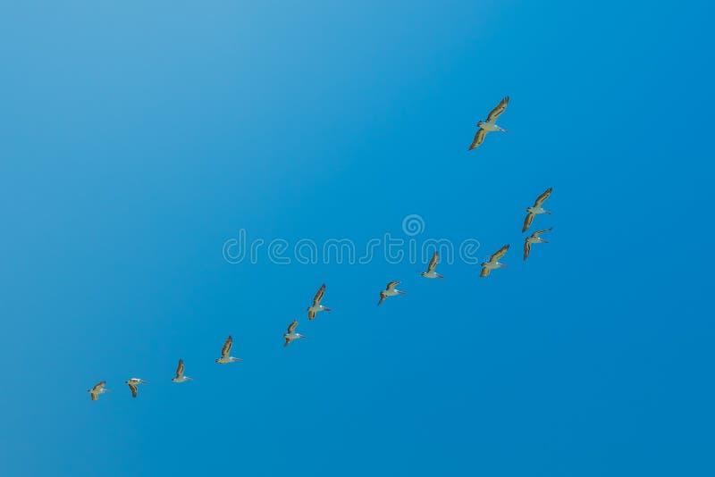 Pellicani che pilotano Australia occidentale fotografia stock