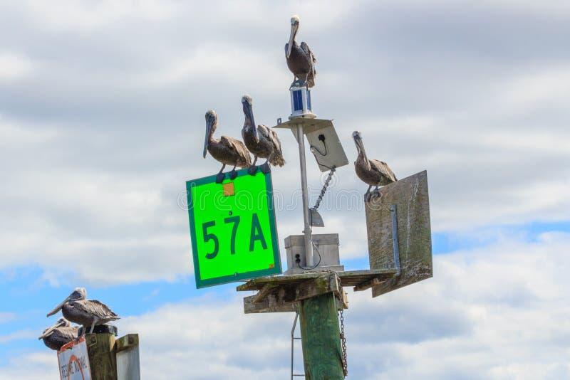 Pellicani di Brown che si siedono sugli indicatori di navigazione delle acque costiere immagine stock