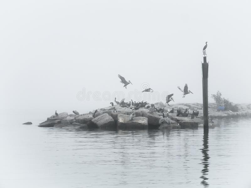 Pellicani di Brown su una mattina nebbiosa immagine stock libera da diritti